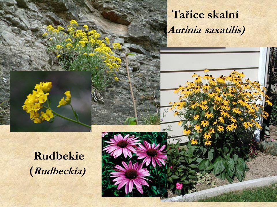 Tařice skalní ( Aurinia saxatilis) Rudbekie ( Rudbeckia)