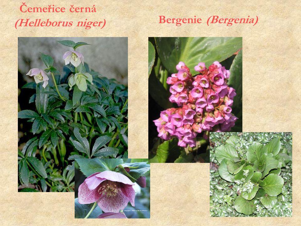 Čemeřice černá (Helleborus niger) Bergenie (Bergenia)