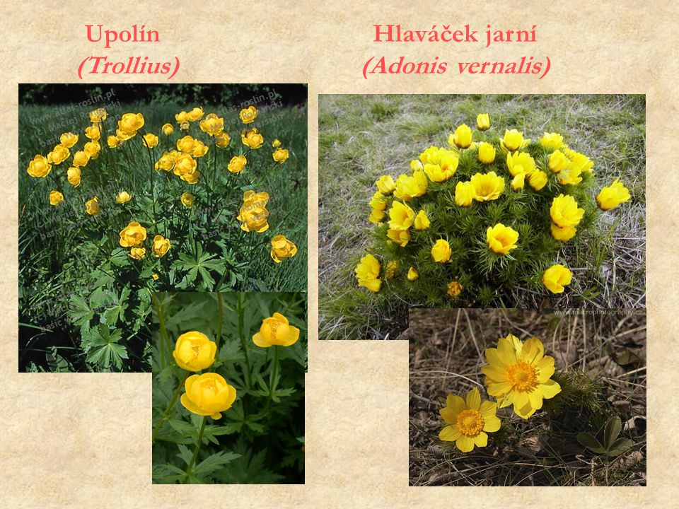 Hlaváček jarní (Adonis vernalis) Upolín (Trollius)