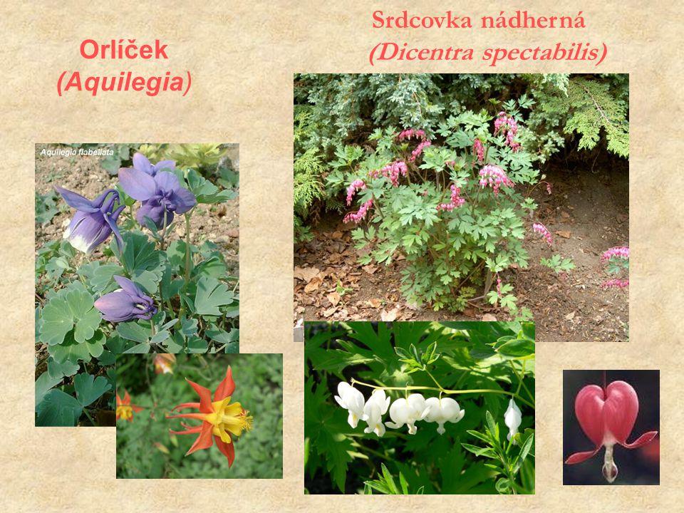 Orlíček (Aquilegia) Srdcovka nádherná (Dicentra spectabilis)