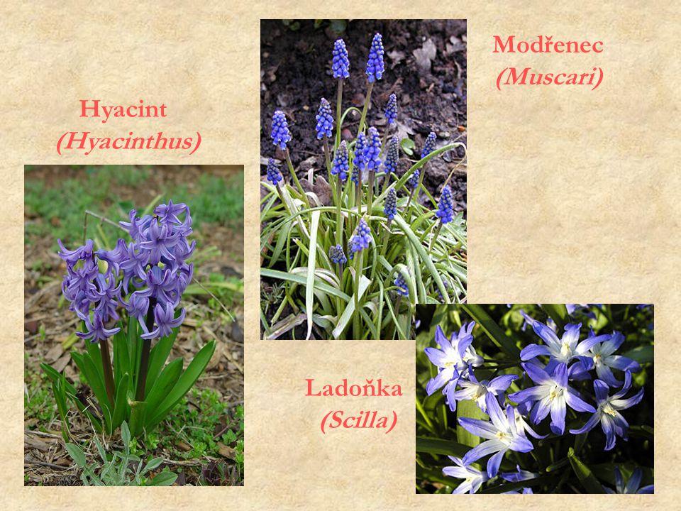 Hyacint (Hyacinthus) Ladoňka (Scilla) Modřenec (Muscari)