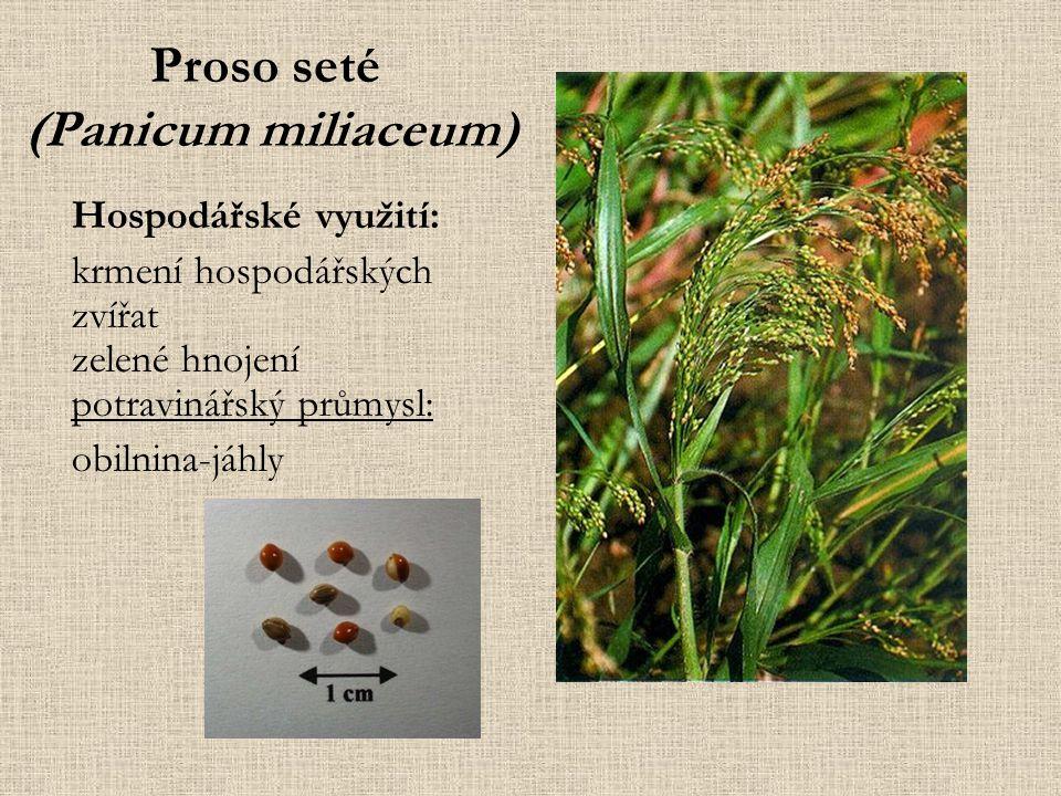 Proso seté (Panicum miliaceum) Hospodářské využití: krmení hospodářských zvířat zelené hnojení potravinářský průmysl: obilnina-jáhly