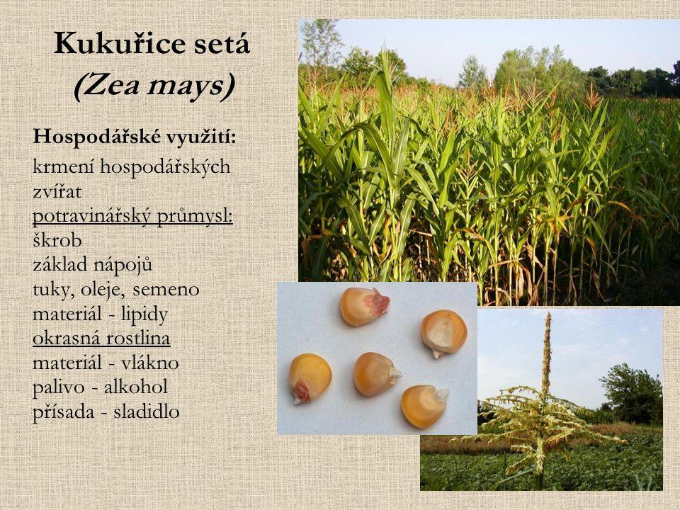 Kukuřice setá (Zea mays) Hospodářské využití: krmení hospodářských zvířat potravinářský průmysl: škrob základ nápojů tuky, oleje, semeno materiál - lipidy okrasná rostlina materiál - vlákno palivo - alkohol přísada - sladidlo