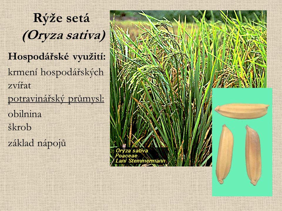 Rýže setá (Oryza sativa) Hospodářské využití: krmení hospodářských zvířat potravinářský průmysl: obilnina škrob základ nápojů