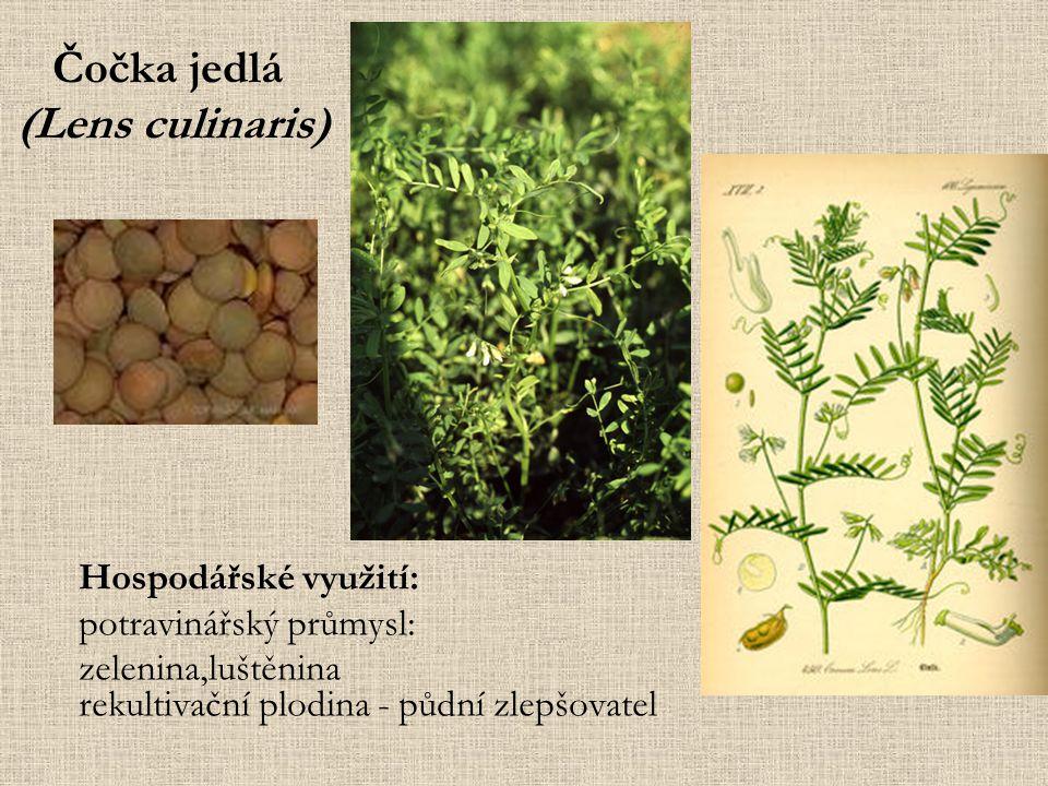 Čočka jedlá (Lens culinaris) Hospodářské využití: potravinářský průmysl: zelenina,luštěnina rekultivační plodina - půdní zlepšovatel