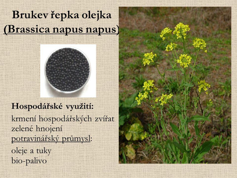 Brukev řepka olejka (Brassica napus napus) Hospodářské využití: krmení hospodářských zvířat zelené hnojení potravinářský průmysl: oleje a tuky bio-palivo