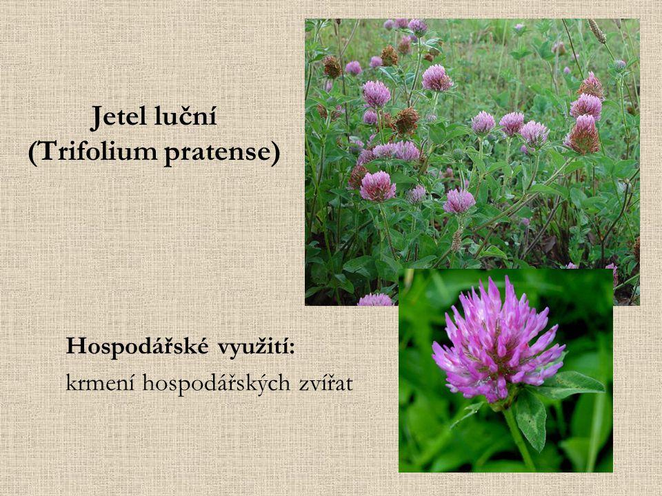 Jetel luční (Trifolium pratense) Hospodářské využití: krmení hospodářských zvířat