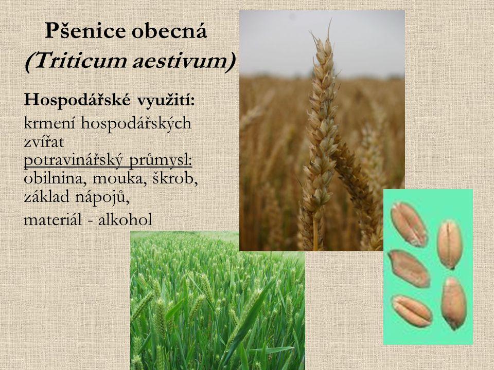 Pšenice obecná (Triticum aestivum) Hospodářské využití: krmení hospodářských zvířat potravinářský průmysl: obilnina, mouka, škrob, základ nápojů, materiál - alkohol