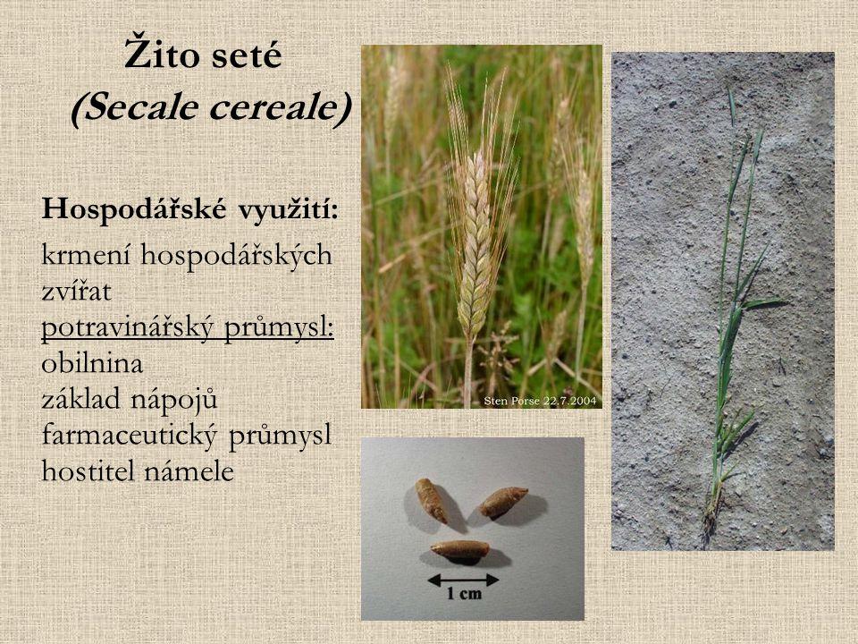 Ječmen setý (Hordeum vulgare) Hospodářské využití: krmení hospodářských zvířat potravinářský průmysl: obilnina základ nápojů