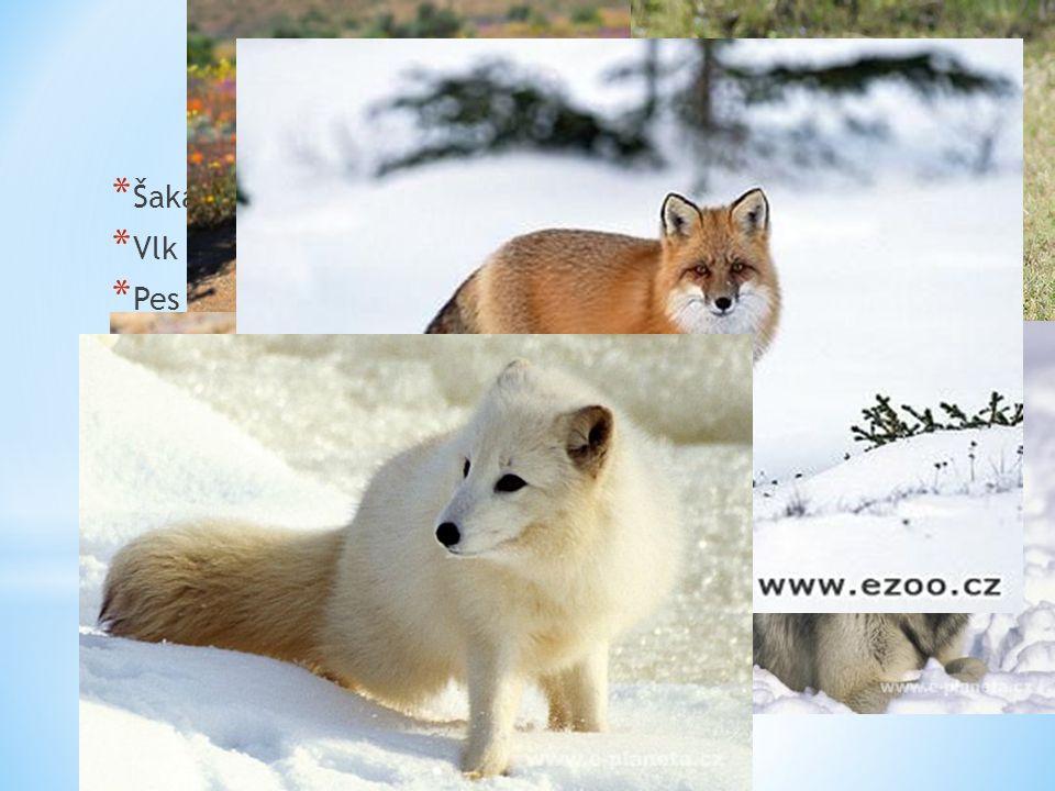 * Šakal obecný * Vlk obecný * Pes ušatý * Pes horský * Liška obecná * Liška polární