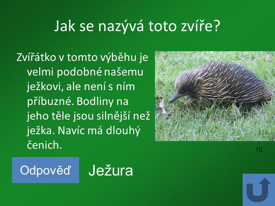Jak se nazývá toto zvíře? Zvířátko v tomto výběhu je velmi podobné našemu ježkovi, ale není s ním příbuzné. Bodliny na jeho těle jsou silnější než jež