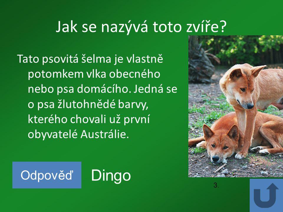 Jak se nazývá toto zvíře? Tato psovitá šelma je vlastně potomkem vlka obecného nebo psa domácího. Jedná se o psa žlutohnědé barvy, kterého chovali už