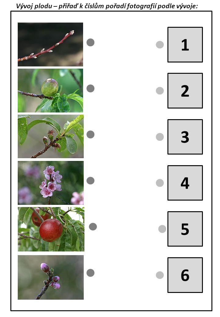 Vývoj plodu – přiřaď k číslům pořadí fotografií podle vývoje: 1 2 3 4 5 6