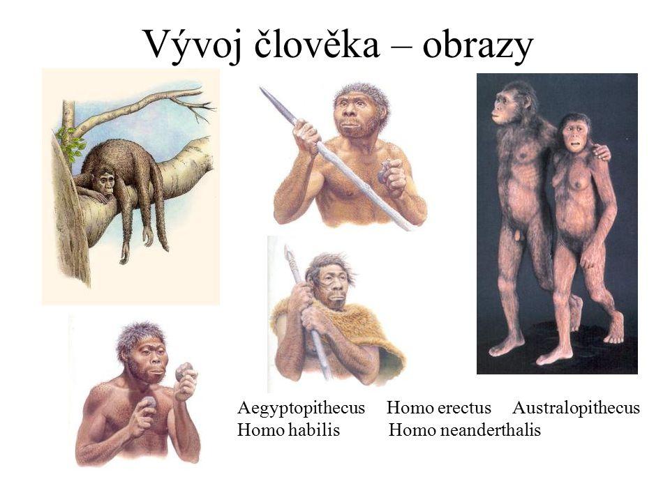 Vývoj člověka – obrazy Aegyptopithecus Homo erectus Australopithecus Homo habilis Homo neanderthalis