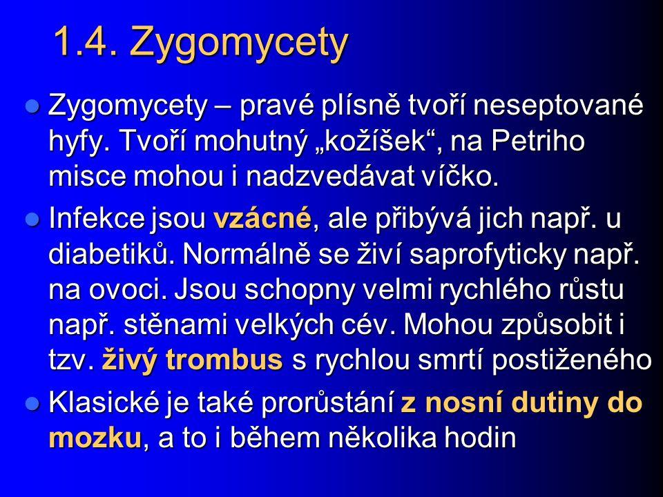"""1.4. Zygomycety Zygomycety – pravé plísně tvoří neseptované hyfy. Tvoří mohutný """"kožíšek"""", na Petriho misce mohou i nadzvedávat víčko. Zygomycety – pr"""