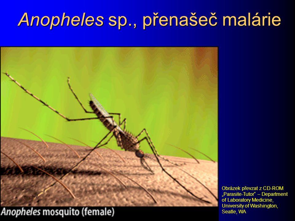 """Anopheles sp., přenašeč malárie Obrázek převzat z CD-ROM """"Parasite-Tutor"""" – Department of Laboratory Medicine, University of Washington, Seatle, WA"""