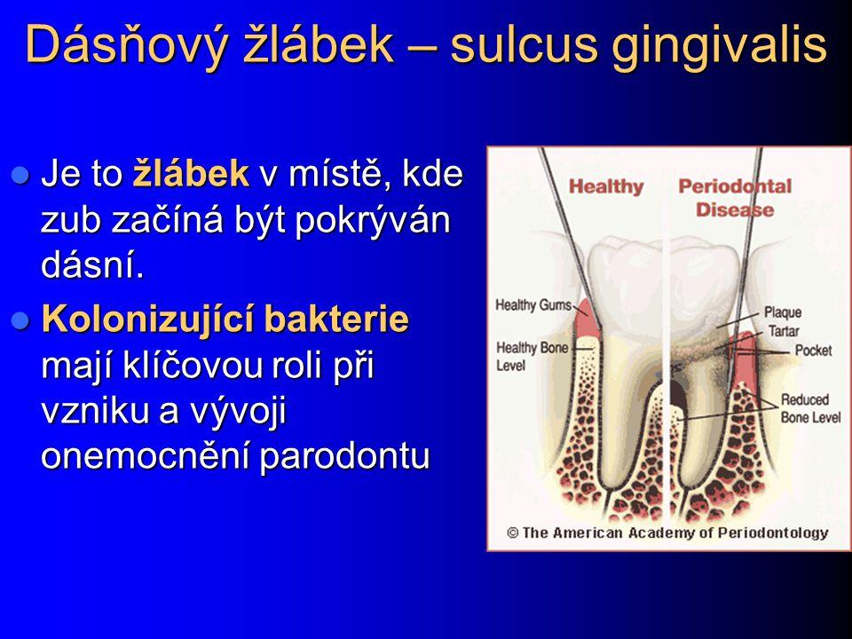 Dásňový žlábek – sulcus gingivalis Je to žlábek v místě, kde zub začíná být pokrýván dásní. Je to žlábek v místě, kde zub začíná být pokrýván dásní. K