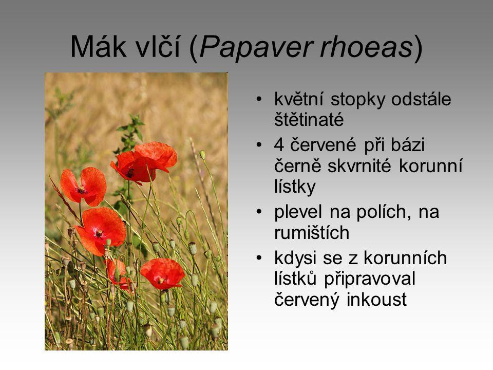 Mák vlčí (Papaver rhoeas) květní stopky odstále štětinaté 4 červené při bázi černě skvrnité korunní lístky plevel na polích, na rumištích kdysi se z k