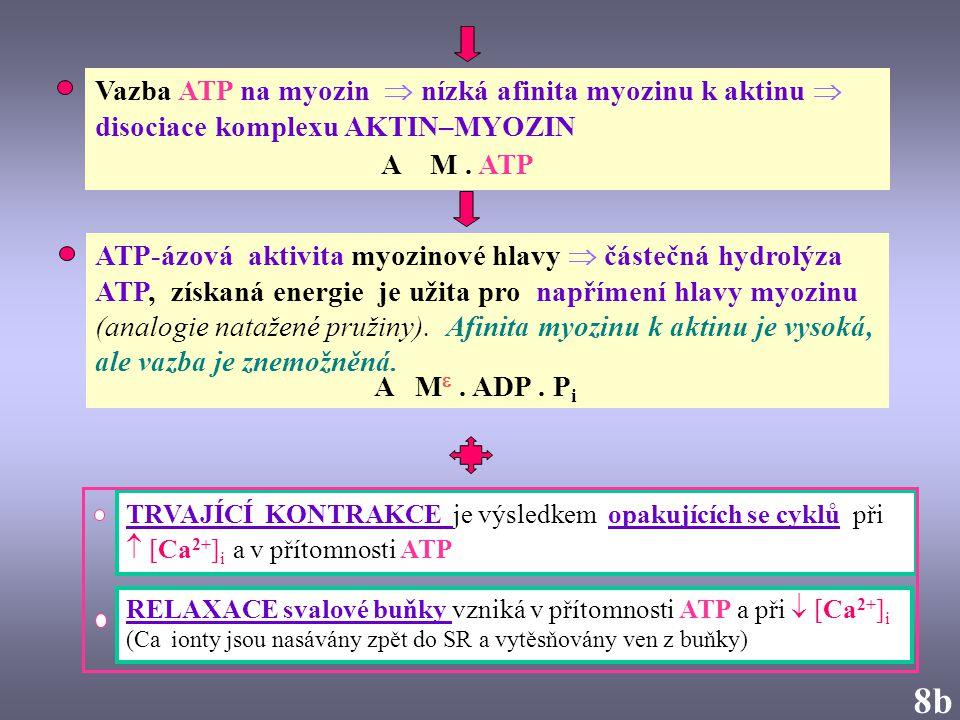 8b8b Vazba ATP na myozin  nízká afinita myozinu k aktinu  disociace komplexu AKTIN–MYOZIN A M. ATP RELAXACE svalové buňky vzniká v přítomnosti ATP a