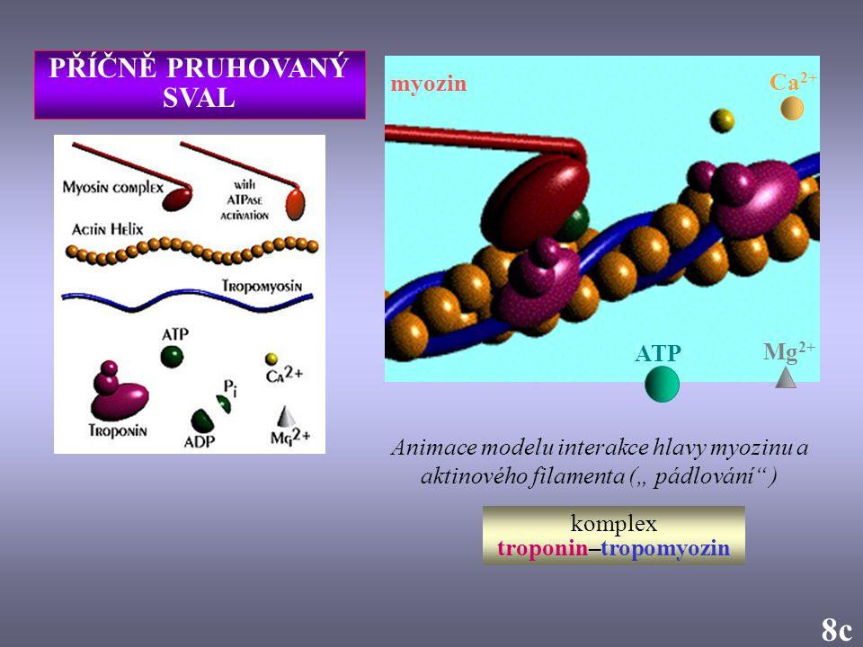 """Animace modelu interakce hlavy myozinu a aktinového filamenta ("""" pádlování"""" ) 8c Ca 2+ myozin Mg 2+ ATP komplex troponin–tropomyozin PŘÍČNĚ PRUHOVANÝ"""