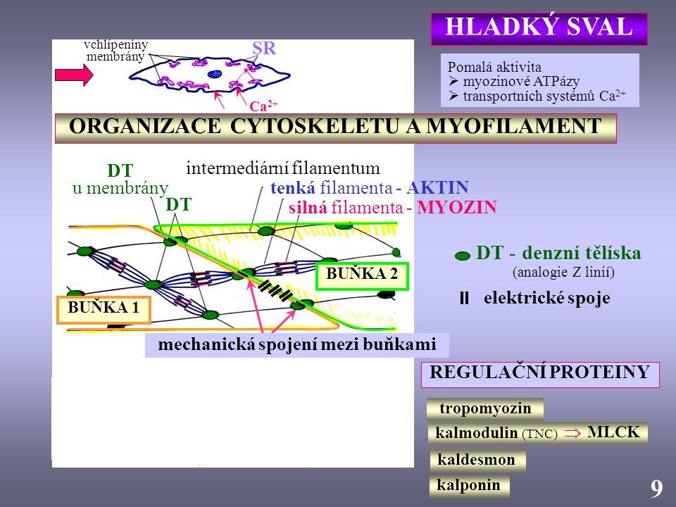 kalmodulin (TNC)  MLCK SR DT u membrány intermediární filamentum tenká filamenta - AKTIN silná filamenta - MYOZIN DT ORGANIZACE CYTOSKELETU A MYOFILA