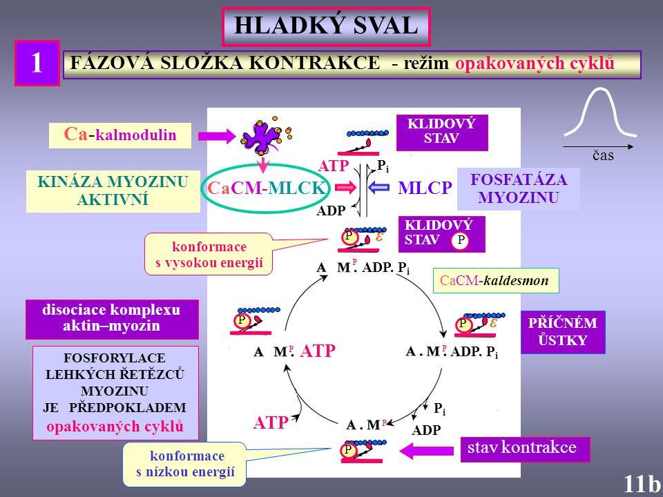 HLADKÝ SVAL ATP PiPi ADP MLCP FOSFATÁZA MYOZINU ADP. P i ADP PiPi 11b CaCM-MLCK KINÁZA MYOZINU AKTIVNÍ P P P CaCM-kaldesmon FOSFORYLACE LEHKÝCH ŘETĚZC