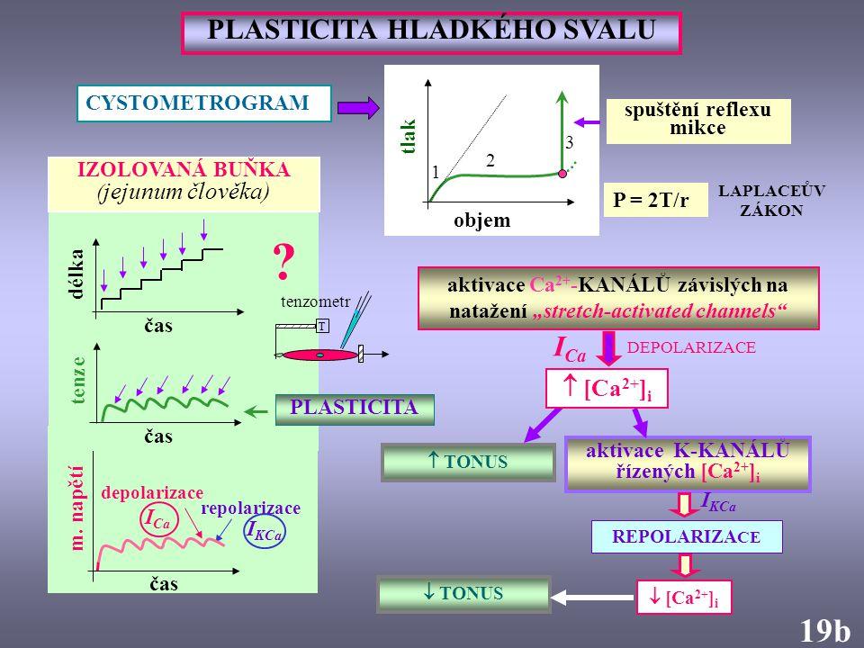 """objem tlak CYSTOMETROGRAM aktivace Ca 2+ -KANÁLŮ závislých na natažení """"stretch-activated channels"""" PLASTICITA HLADKÉHO SVALU  TONUS LAPLACEŮV ZÁKON"""