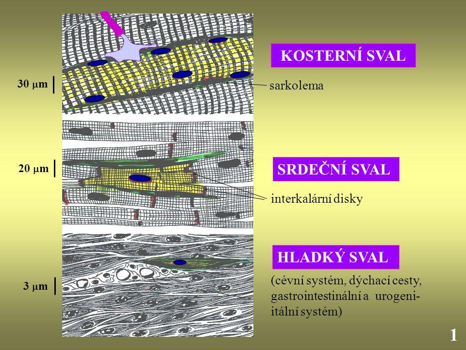 KOSTERNÍ SVAL SRDEČNÍ SVAL 20  m 30  m 3  m 1 interkalární disky sarkolema HLADKÝ SVAL (cévní systém, dýchací cesty, gastrointestinální a urogeni-