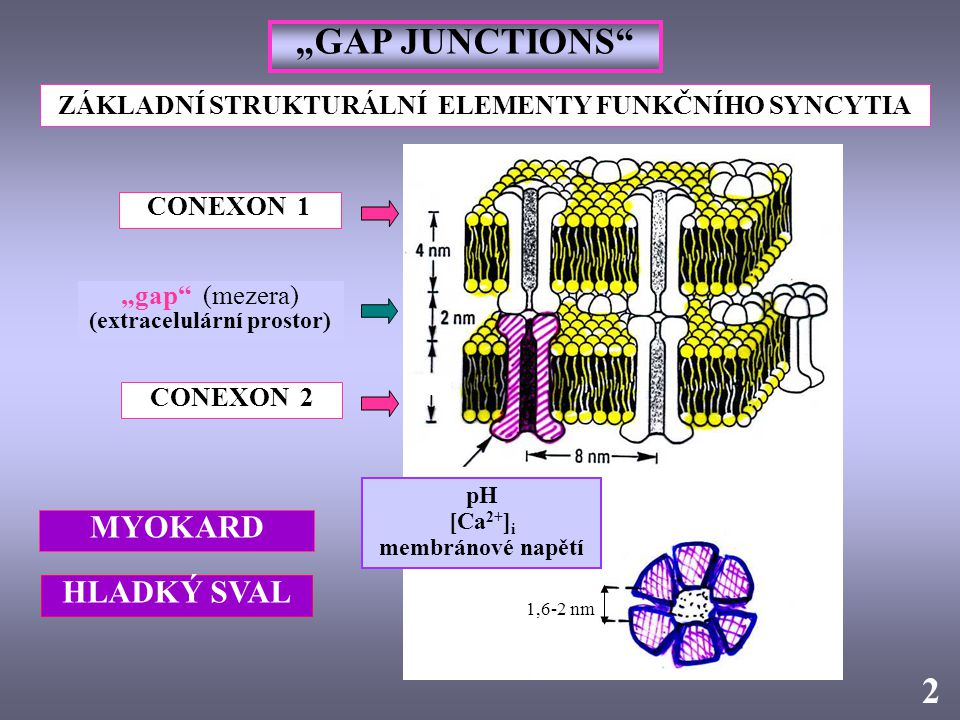"""1,6-2 nm """"GAP JUNCTIONS"""" CONEXON 1 CONEXON 2 pH [Ca 2+ ] i membránové napětí 2 """"gap"""" (mezera) (extracelulární prostor) ZÁKLADNÍ STRUKTURÁLNÍ ELEMENTY"""