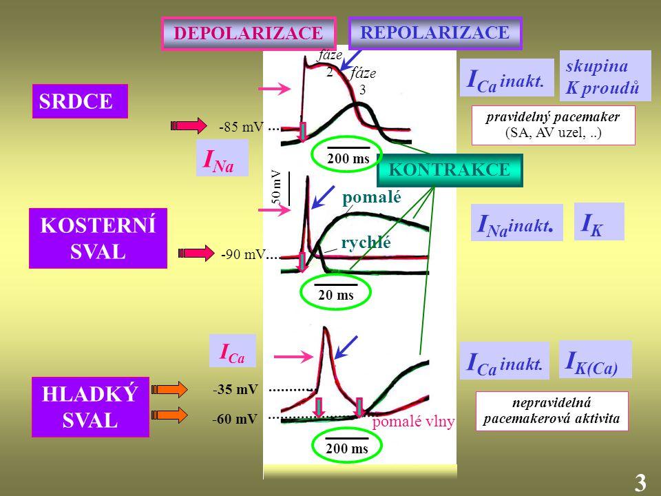 """2929 TYPY HLADKÝCH SVALŮ Funkční syncytium (elektrické spoje """"gap junctions ) Nezávislost kontrakce na nervové stimulaci ( pomalá nepravidelná nestabilní """"pacemakerová aktivita ) Vznik kontrakce v odezvě na natažení svalu (vápníkové kanály aktivované natažením – """"stretch channels ) např."""
