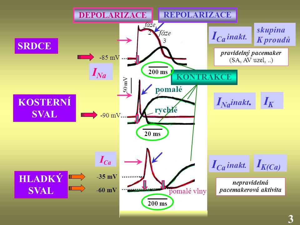 50 mV -85 mV 200 ms -35 mV 20 ms pravidelný pacemaker (SA, AV uzel,..) nepravidelná pacemakerová aktivita pomalé rychlé 3 pomalé vlny HLADKÝ SVAL I Ca