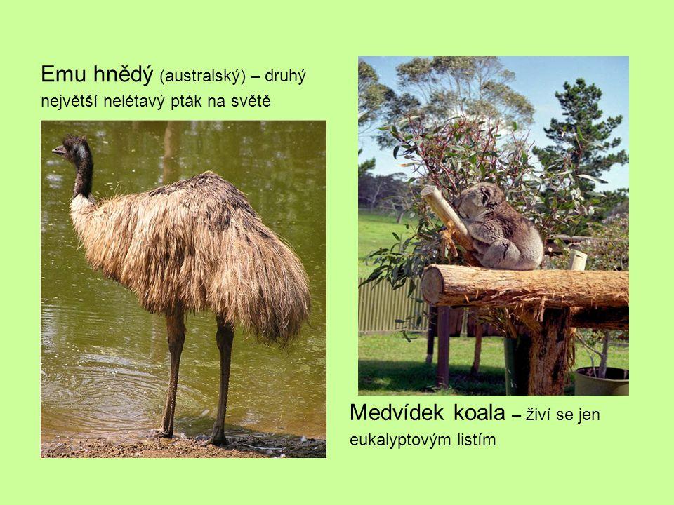 Emu hnědý (australský) – druhý největší nelétavý pták na světě Medvídek koala – živí se jen eukalyptovým listím