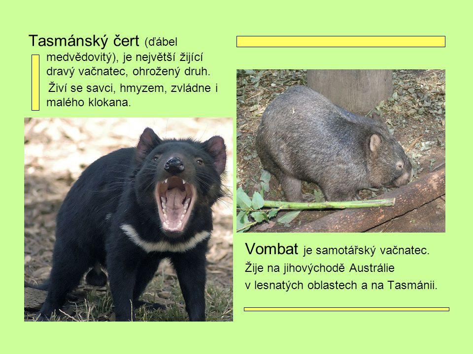 Tasmánský čert (ďábel medvědovitý), je největší žijící dravý vačnatec, ohrožený druh. Živí se savci, hmyzem, zvládne i malého klokana. Vombat je samot