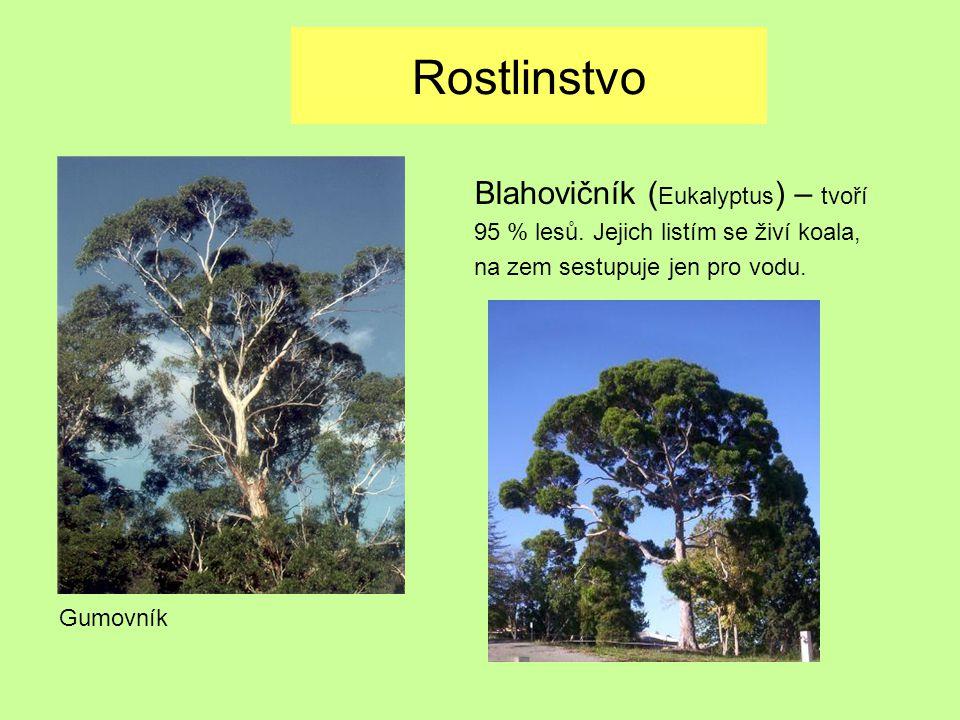 Rostlinstvo Gumovník Blahovičník ( Eukalyptus ) – tvoří 95 % lesů. Jejich listím se živí koala, na zem sestupuje jen pro vodu.