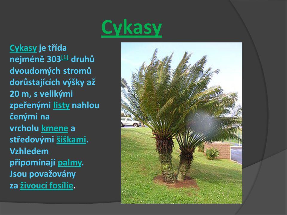 Cykasy Cykasy je třída nejméně 303 [1] druhů dvoudomých stromů dorůstajících výšky až 20 m, s velikými zpeřenými listy nahlou čenými na vrcholu kmene a středovými šiškami.
