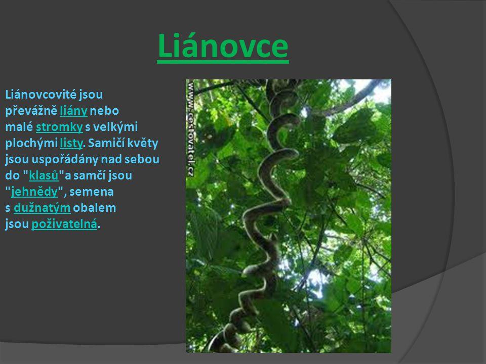 Liánovce Liánovcovité jsou převážně liány nebo malé stromky s velkými plochými listy.
