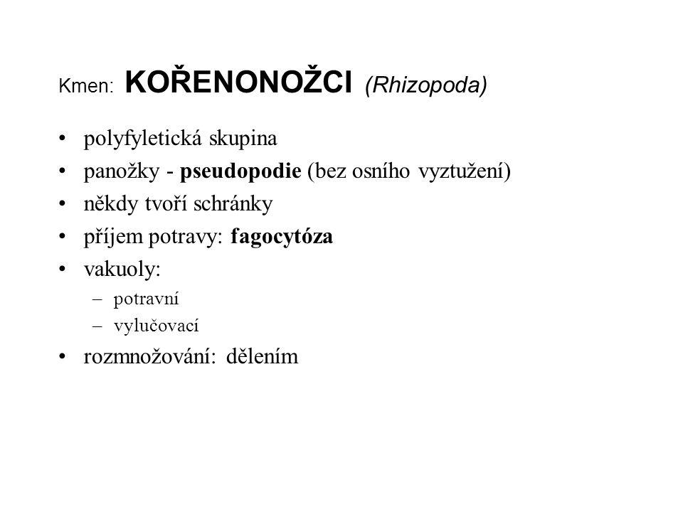 Kmen: KOŘENONOŽCI (Rhizopoda) polyfyletická skupina panožky - pseudopodie (bez osního vyztužení) někdy tvoří schránky příjem potravy: fagocytóza vakuo