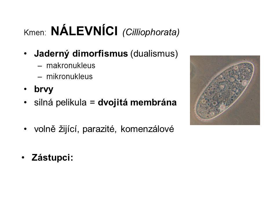 Kmen: NÁLEVNÍCI (Cilliophorata) Jaderný dimorfismus (dualismus) –makronukleus –mikronukleus brvy silná pelikula = dvojitá membrána volně žijící, paraz