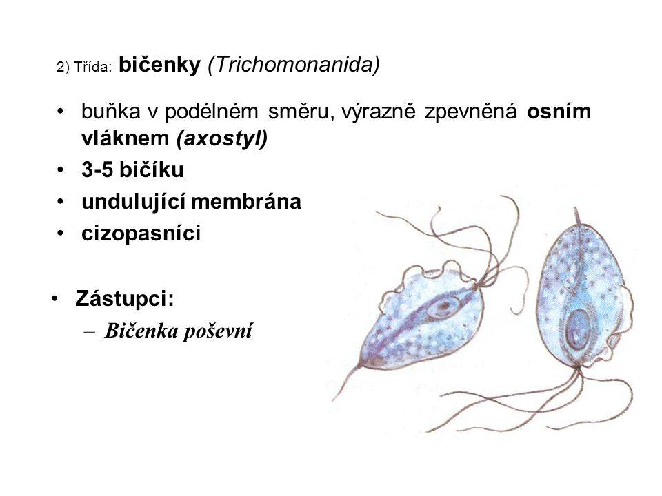 2) Třída: bičenky (Trichomonanida) buňka v podélném směru, výrazně zpevněná osním vláknem (axostyl) 3-5 bičíku undulující membrána cizopasníci Zástupc