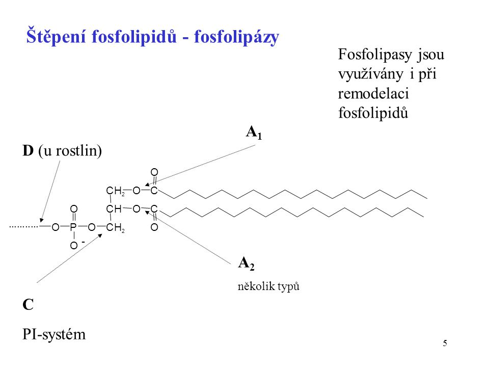 5 Štěpení fosfolipidů - fosfolipázy A1A1 A 2 několik typů D (u rostlin) C PI-systém Fosfolipasy jsou využívány i při remodelaci fosfolipidů CH 2 OC O