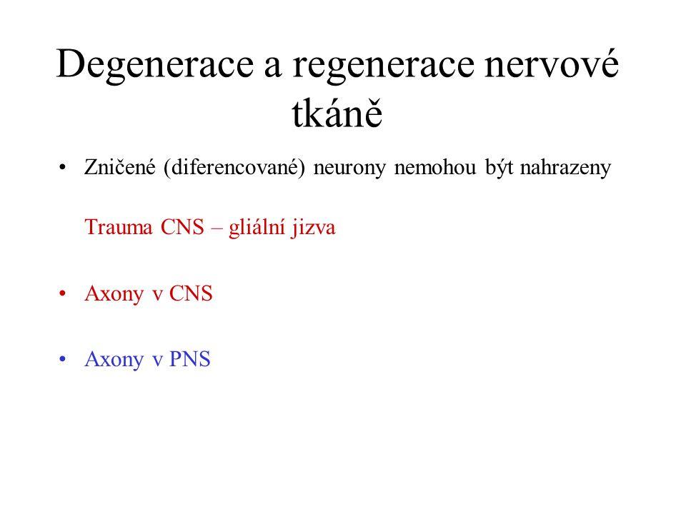 Transdukce nervového signálu na buněčné úrovni EPSP IPSP Initial segment AP Ca2+ influx Neurotransmitter Neurotransmitter releasing