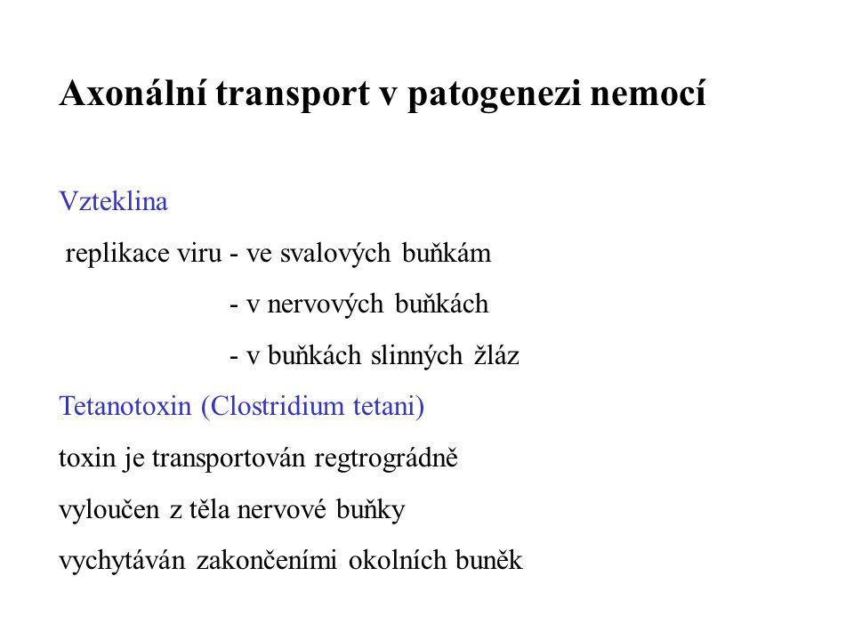 Axonální transport ve výzkumu NS Zkoumání nervových zapojení Anterográdní transport Radioaktivně značené AK (inkorporace do proteinů, transport, detekce autoradiograficky) Injekce do oblasti těla neuronu, identifikuje se distribuce axonů Retrográdní transport Křenová peroxidáza proniká do axonálních zakončení, transportuje se do těla neuronu, je možno ji vizualizovat.