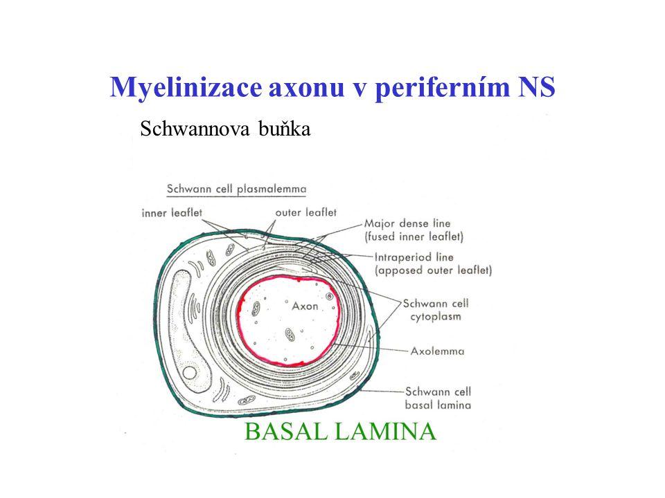 Myelinizace axonu v periferním NS Bazal lamina