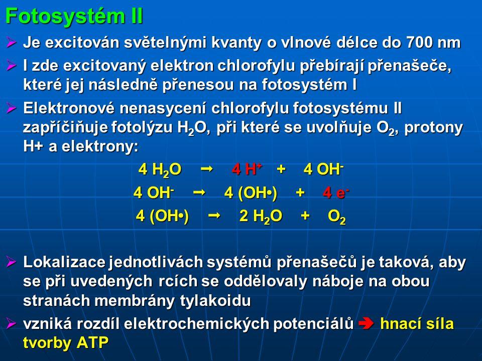 Fotosystém II  Je excitován světelnými kvanty o vlnové délce do 700 nm  I zde excitovaný elektron chlorofylu přebírají přenašeče, které jej následně přenesou na fotosystém I  Elektronové nenasycení chlorofylu fotosystému II zapříčiňuje fotolýzu H 2 O, při které se uvolňuje O 2, protony H+ a elektrony: 4 H 2 O  4 H + + 4 OH - 4 OH -  4 (OH) + 4 e - 4 (OH)  2 H 2 O + O 2  Lokalizace jednotlivách systémů přenašečů je taková, aby se při uvedených rcích se oddělovaly náboje na obou stranách membrány tylakoidu  vzniká rozdíl elektrochemických potenciálů  hnací síla tvorby ATP