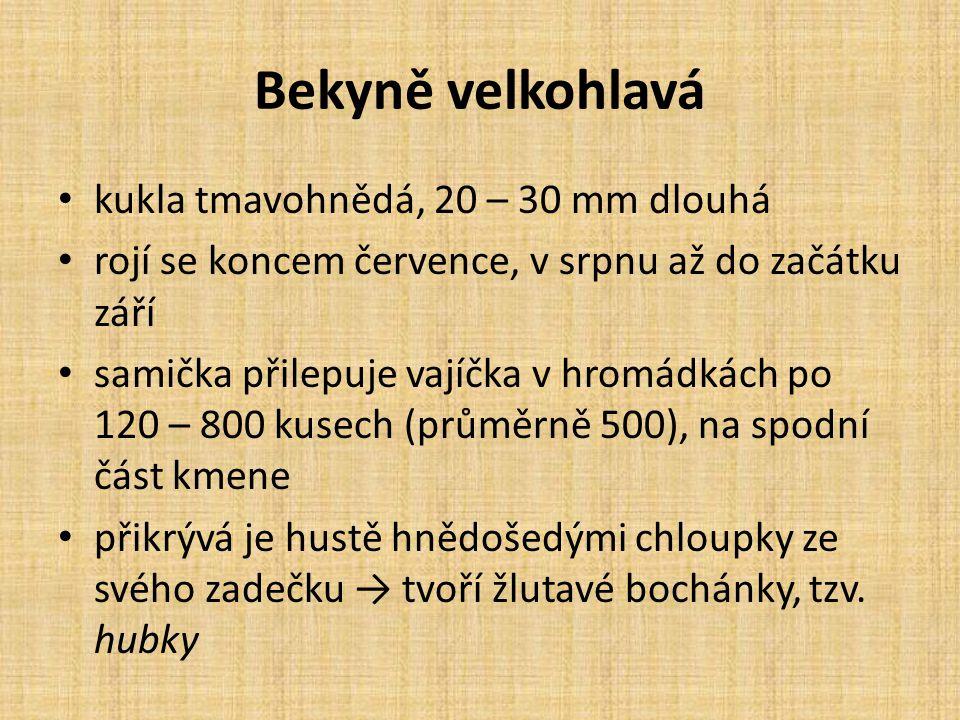 Bekyně velkohlavá kukla tmavohnědá, 20 – 30 mm dlouhá rojí se koncem července, v srpnu až do začátku září samička přilepuje vajíčka v hromádkách po 120 – 800 kusech (průměrně 500), na spodní část kmene přikrývá je hustě hnědošedými chloupky ze svého zadečku → tvoří žlutavé bochánky, tzv.