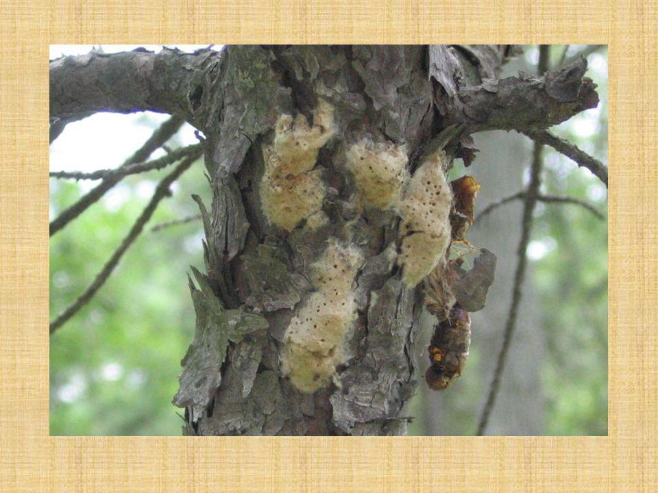 Bekyně velkohlavá vajíčka přezimují housenky se líhnou koncem dubna až začátkem května po několika dnech vystupují do korun a plýtvavým způsobem ožírají listy, pupeny, květy kuklí se ve druhé polovině července na jižní straně kmenů v nížinách se kuklí v první polovině června (každá zvlášť)