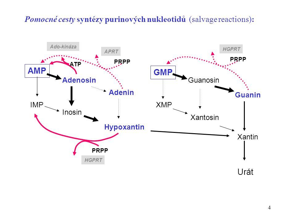 4 Pomocné cesty syntézy purinových nukleotidů (salvage reactions): XMP Guanosin Xantosin Hypoxantin Guanin Xantin Urát GMP IMP Adenosin Inosin Adenin AMP PRPP ATP Ado-kináza APRT HGPRT