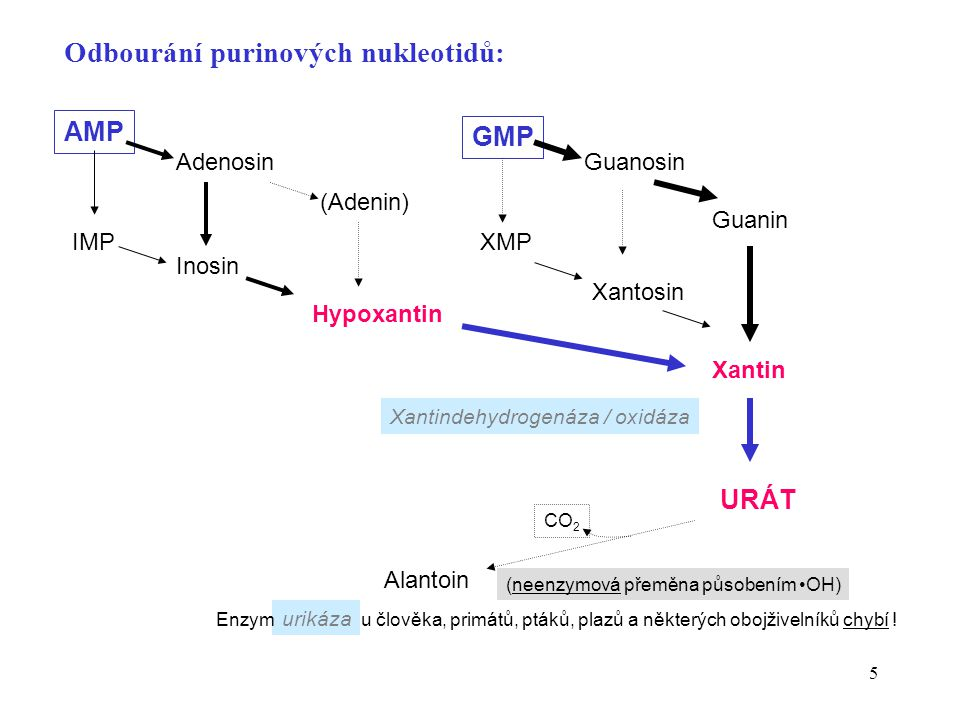 5 Odbourání purinových nukleotidů: XMP Guanosin Xantosin Guanin Xantin URÁT GMP IMP Adenosin Inosin (Adenin) Hypoxantin AMP Xantindehydrogenáza / oxid