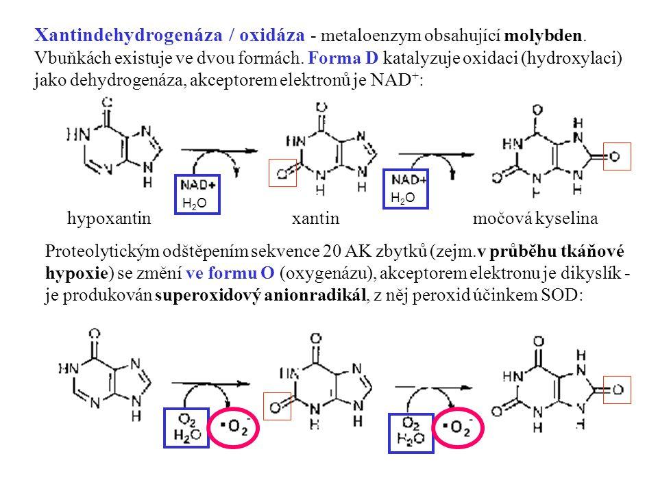 6 hypoxantinxantinmočová kyselina H2OH2O H2OH2O Xantindehydrogenáza / oxidáza - metaloenzym obsahující molybden. Vbuňkách existuje ve dvou formách. Fo