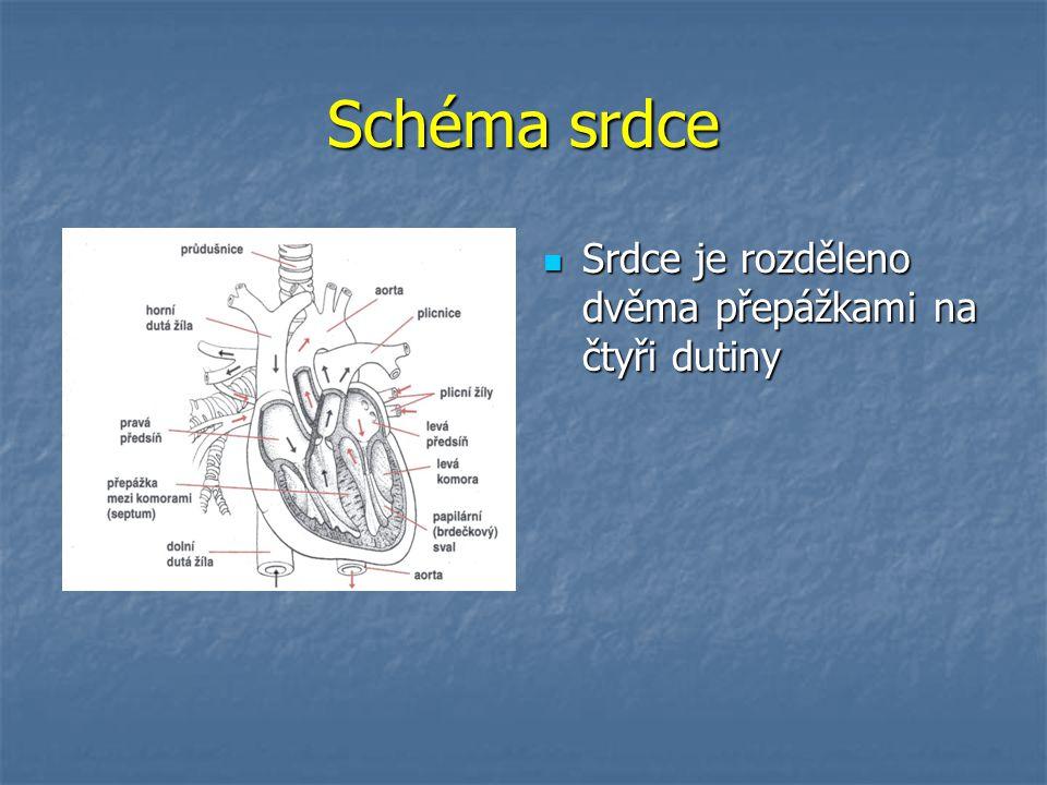 Schéma srdce Srdce je rozděleno dvěma přepážkami na čtyři dutiny Srdce je rozděleno dvěma přepážkami na čtyři dutiny
